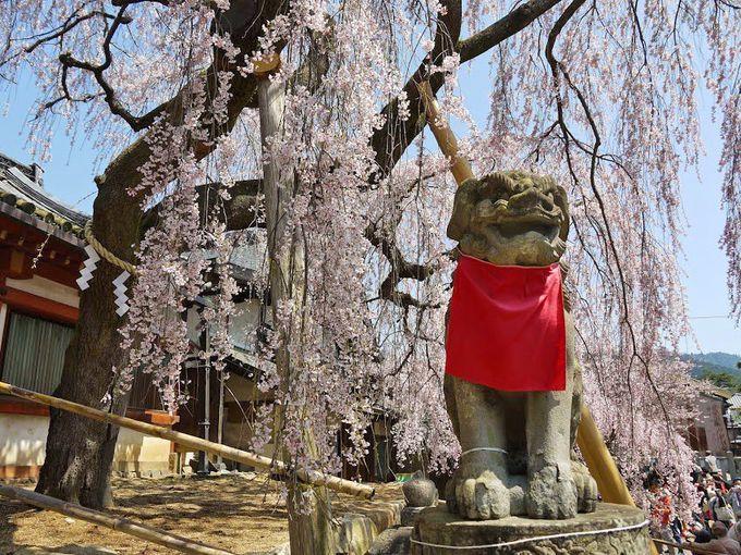 氷室神社の『しだれ桜』は、奈良一番桜とも言われる春を告げる使者!