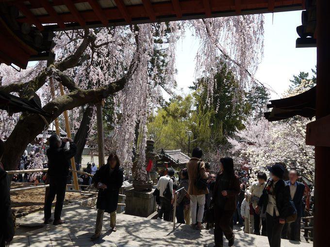 少しでも早く春を味わいたい場合は奈良の『氷室神社』に行こう♪