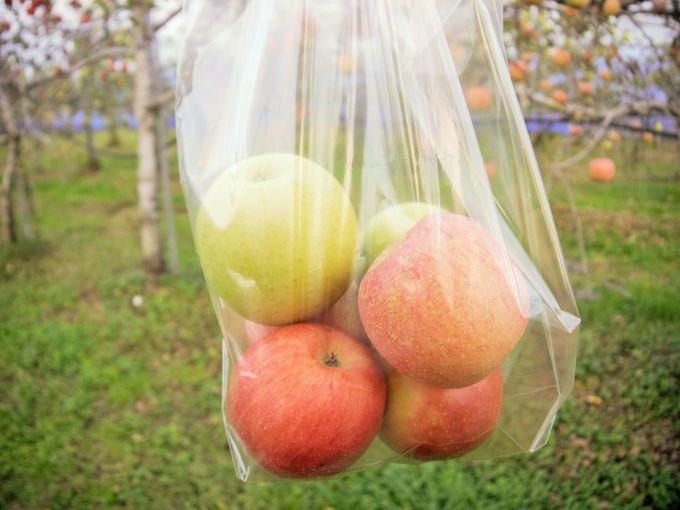 メタセコイアの並木道の横でリンゴ狩り!