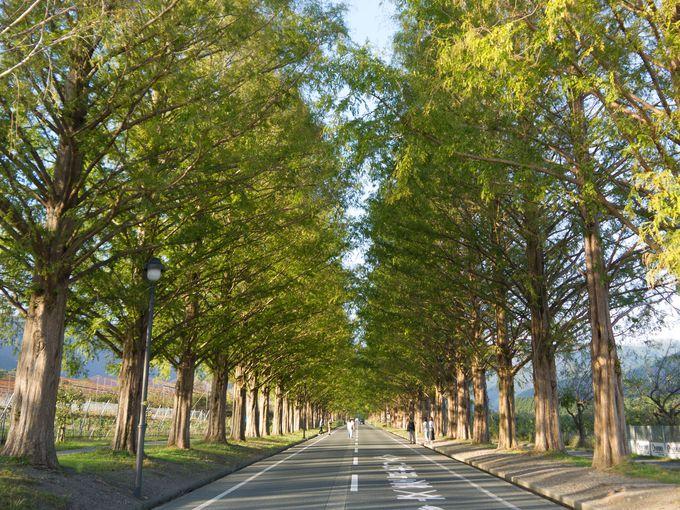 滋賀の絶景スポット!メタセコイア並木