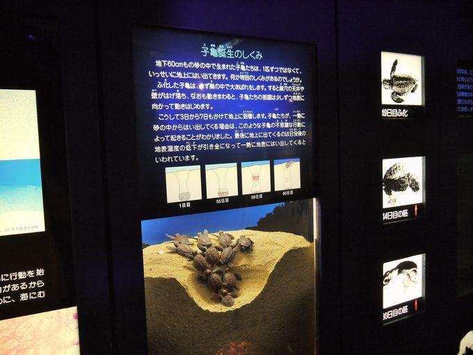 アカウミガメの産卵を生で見るなら7月の始めがチャンス!