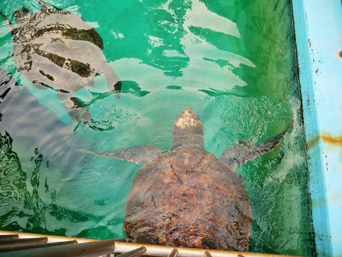 世界最高齢となるアカウミガメの浜太郎にも会える!