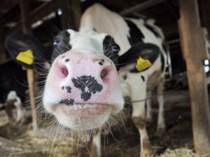縁起良いハート牛も!奈良「ラッテたかまつ」の可愛い牛と極上アイス