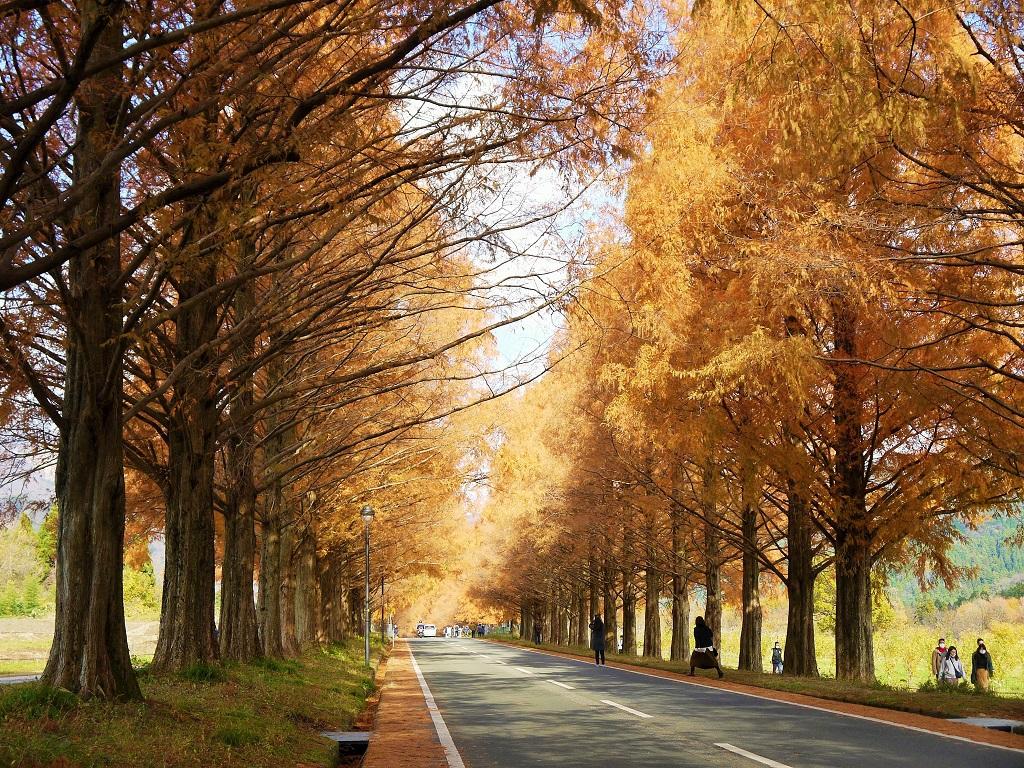滋賀県高島市「メタセコイア並木道」の紅葉