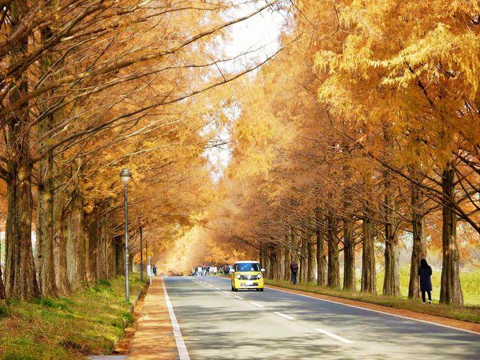 紅葉のメタセコイア並木は必見!一度は見たい滋賀の絶景スポット