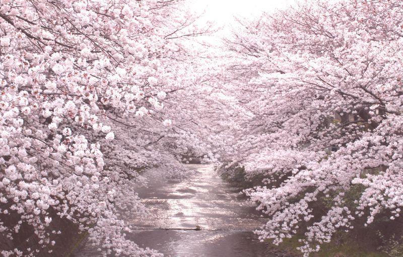 川に沿って続く桜並木は圧巻