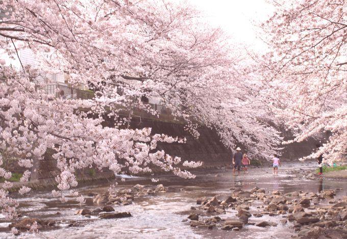 降り注ぐような圧巻の桜を見上げよう