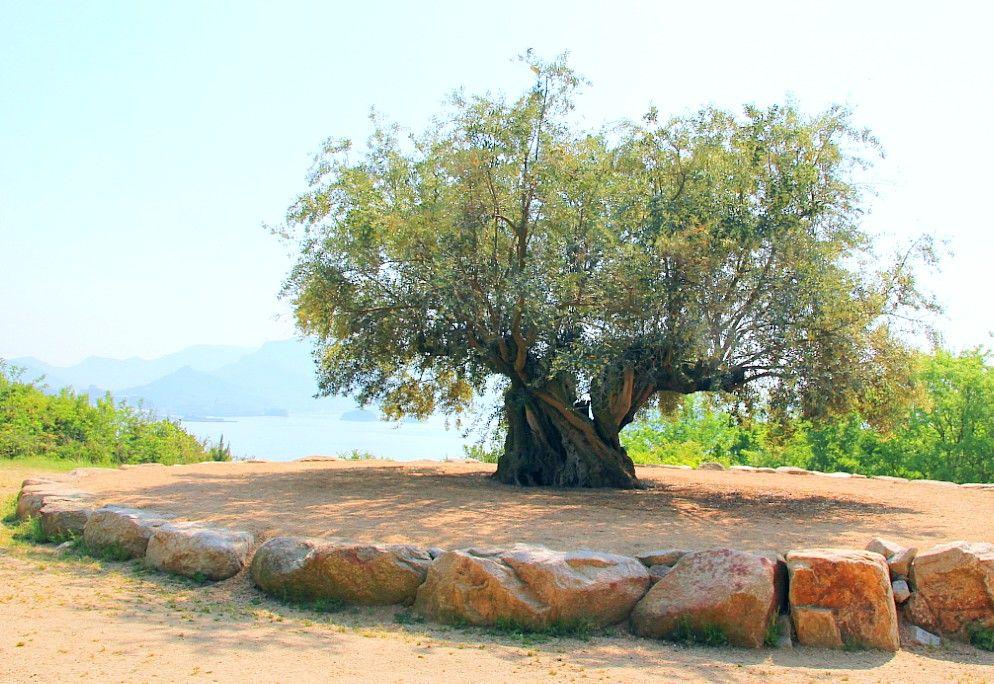 樹齢千年のオリーブ大樹は必見