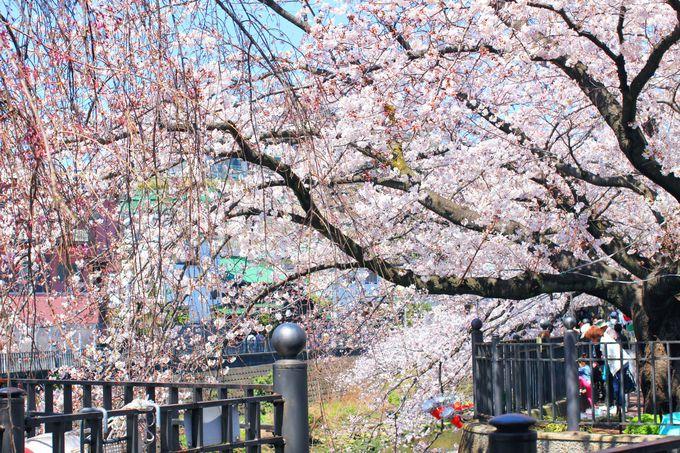 水辺に近い位置でも桜を楽しめるプロムナード