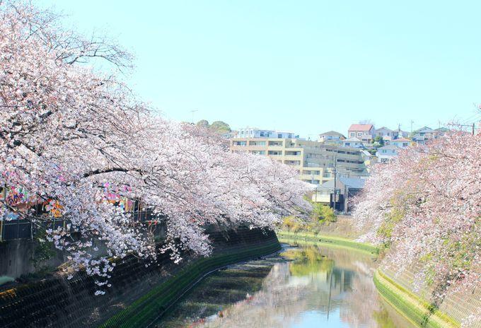 大岡川の両岸に続く桜並木