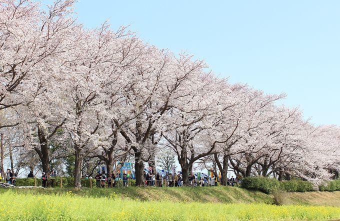 菜の花と桜のコラボが美しい尾根緑道