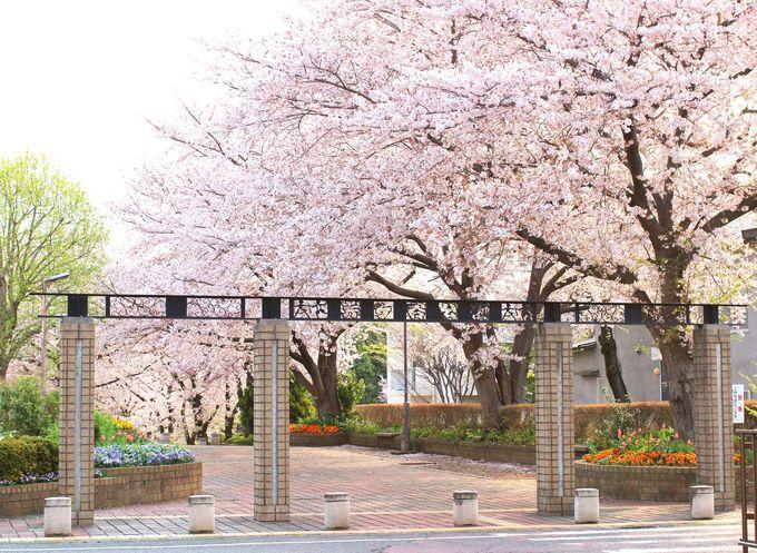 桜に囲まれた芹ヶ谷公園
