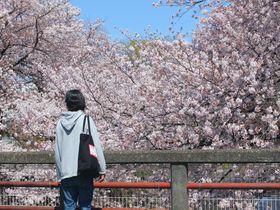 印象派の絵画のような景色も!東京都町田市で桜さんぽ