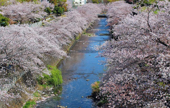 桜の花に包まれる錯覚に!恩田川の桜は必見