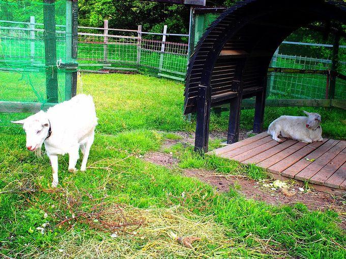 ヤギの「ノンとビリー」に会いに