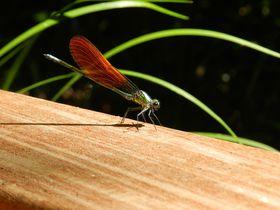 初夏の「横浜自然観察の森」で、清流の宝石 カワトンボに会おう!
