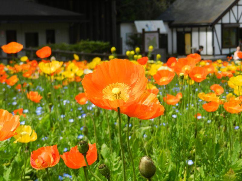 横須賀「くりはま花の国」で、一面のお花畑を堪能しよう!