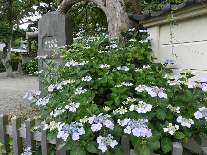 鎌倉各地の、アジサイの咲く史跡を巡ろう
