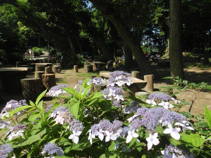 鎌倉の街を見下ろす源氏山公園も、アジサイの名所!