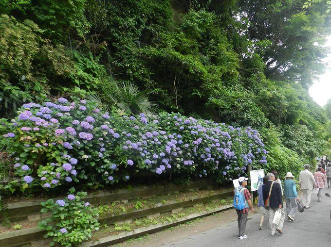 こぼれそうなほどのアジサイの花! 鎌倉各所の群落を見て回ろう