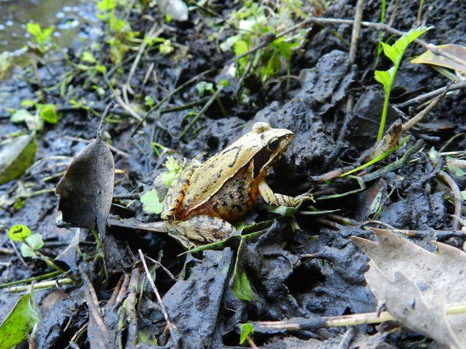 谷戸に生きる、減少著しいニホンアカガエルを探そう