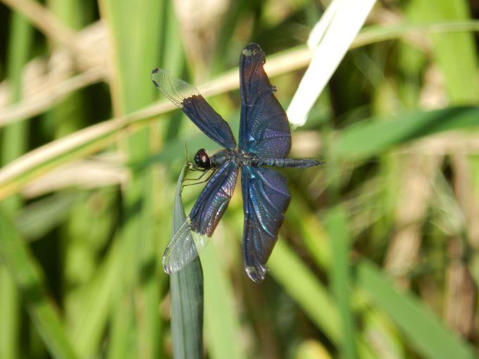 昆虫の楽園! 水辺を飛び交う様々なトンボには特に注目です
