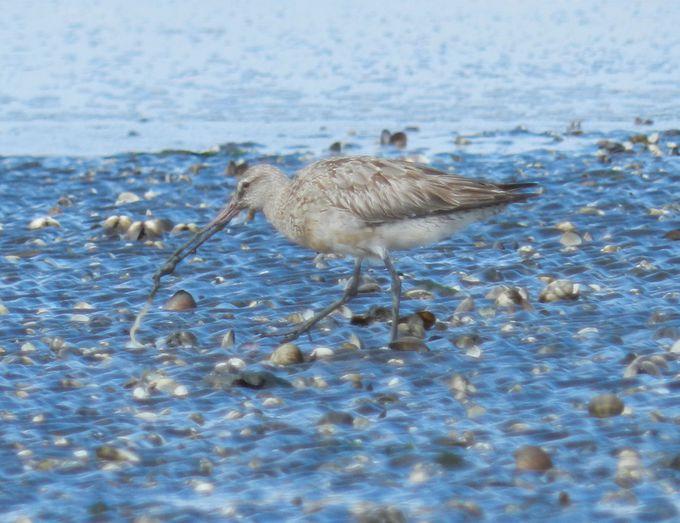 干潟を散歩しながらエサを食べるシギ・チドリを観察しよう