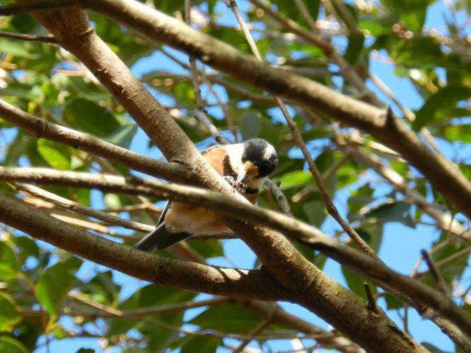 散歩道で小鳥を探してみよう。ほら、すぐそこの木にも……