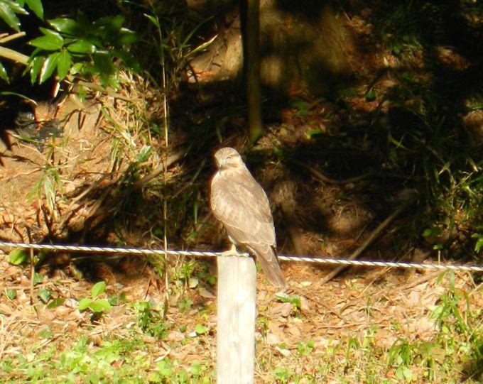 里山生態系の頂点に立つ、カッコいい猛禽類を探そう!