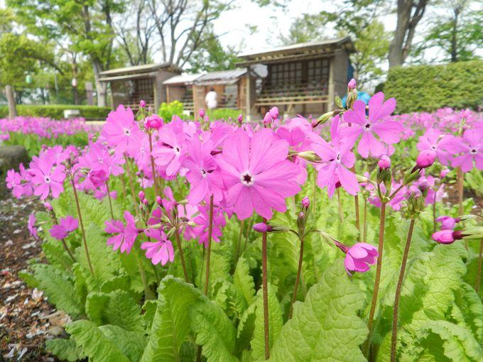 【毎年4月開催】浮間桜草まつりで、在りし日の荒川の花景観を学ぼう