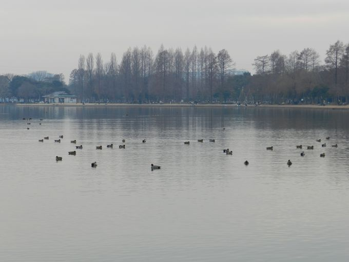 巨大な池「小合溜」を軸に広がる、冬ガモたちの楽園