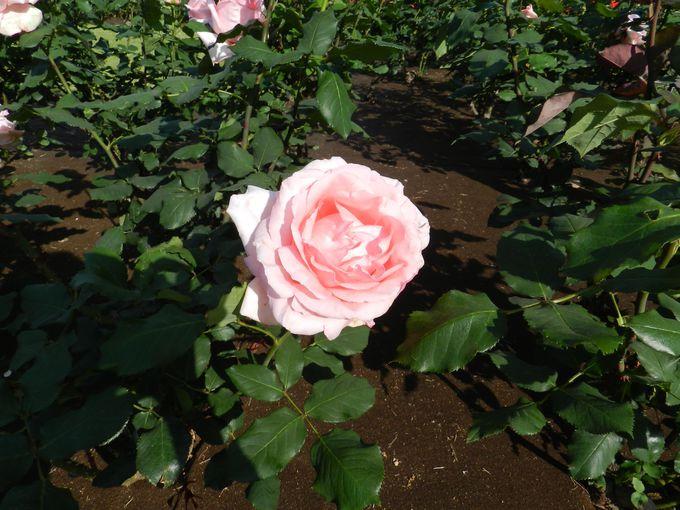 横浜をイメージしたバラ「はまみらい」。他にも独特な品種名が……?