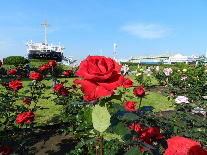 英国式庭園に咲く初夏のバラは、山下公園屈指の華やかさ!