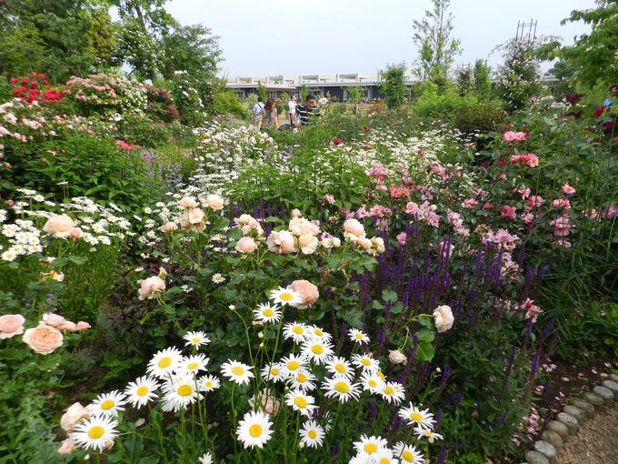 〜混植2〜 バラと宿根草が描く、英国風メドウガーデンの美しさ