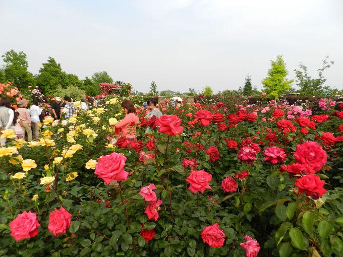 王道のバラ園は「花のプール」のよう。5〜6月が見頃です
