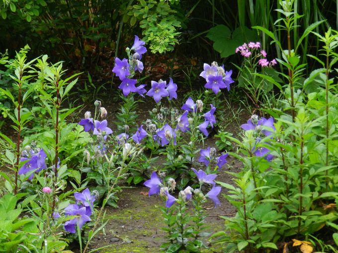 秋の七草の混植は、夏の風物詩