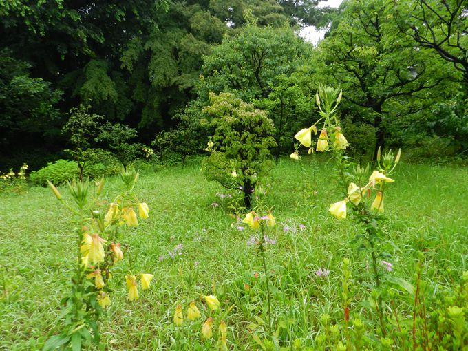 武蔵野の原野を思わせる、草原の山野草群