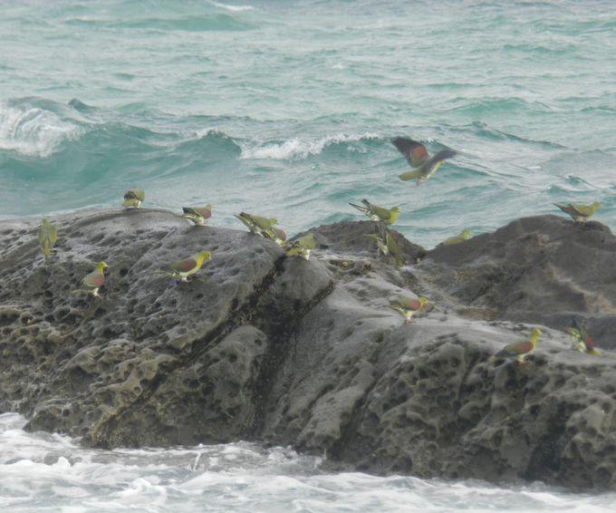 海水を飲みに来るアオバトの群れをお見逃しなく!