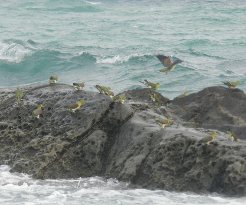 幸せの(?)青い鳥・アオバトが飛来する大磯「照ヶ崎海岸」へ!