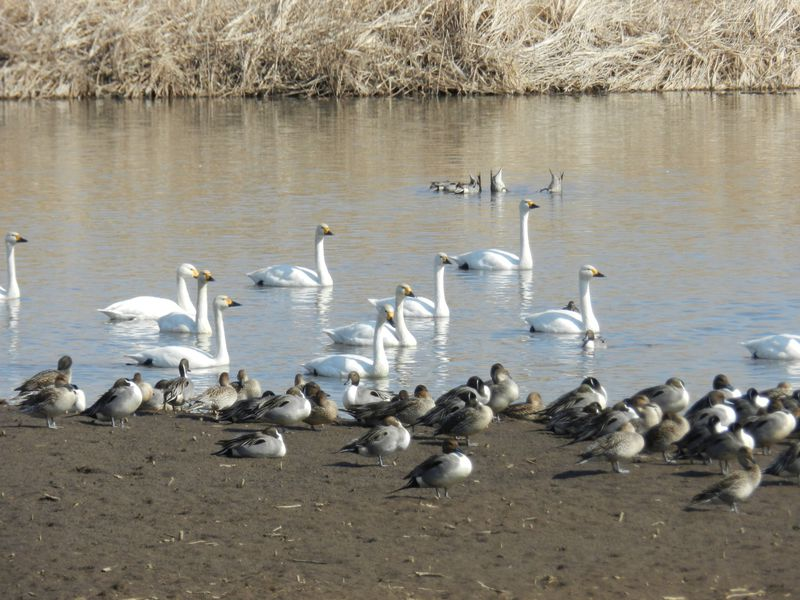 関東の白鳥の泉、館林市・多々良沼でバードウォッチングを!