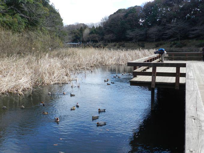 深い森に囲まれた泉には、毎年カモたちがやってきます