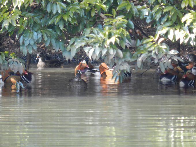 上の池でオシドリの群れを探そう!