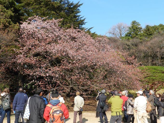 2月、満開の寒桜にバードウォッチャーも注目!?