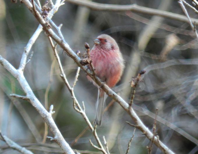 ほのかな紅色のベニマシコほか、冬の小鳥がたくさん!