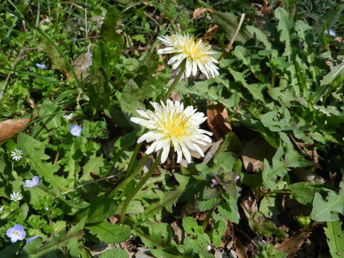 足下にも目を向けて! そこには春ならではの野の花が……