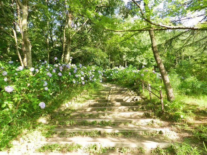 アジサイの咲く緑地を歩き、丘陵地の自然を体感しよう