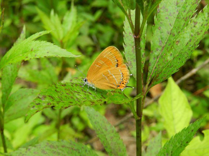 森の宝石 ゼフィルスも、ここでは至ってポピュラーな種!