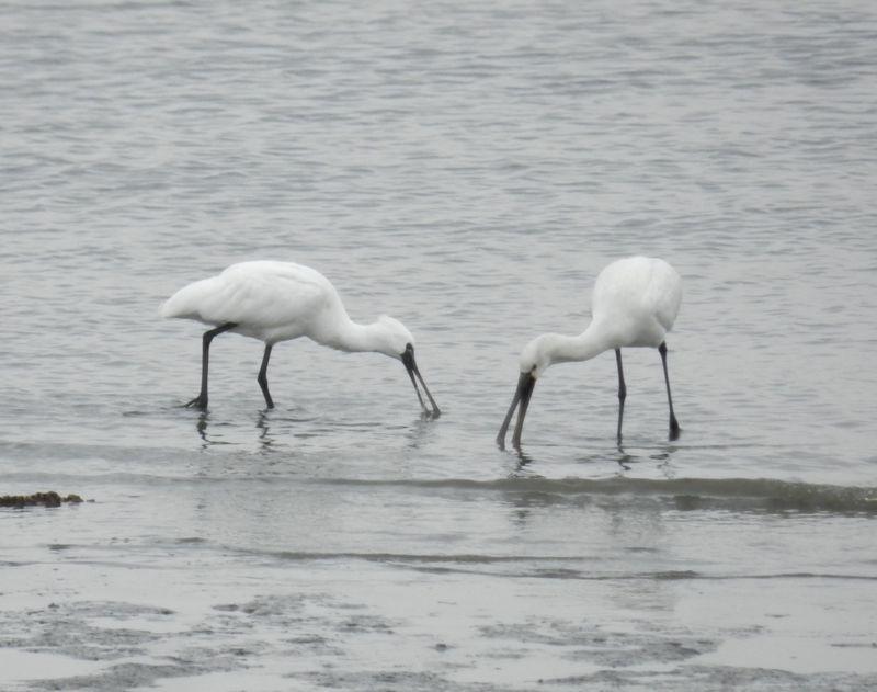 世界に数千羽だけの珍鳥を求め、冬の東京・葛西臨海公園へ