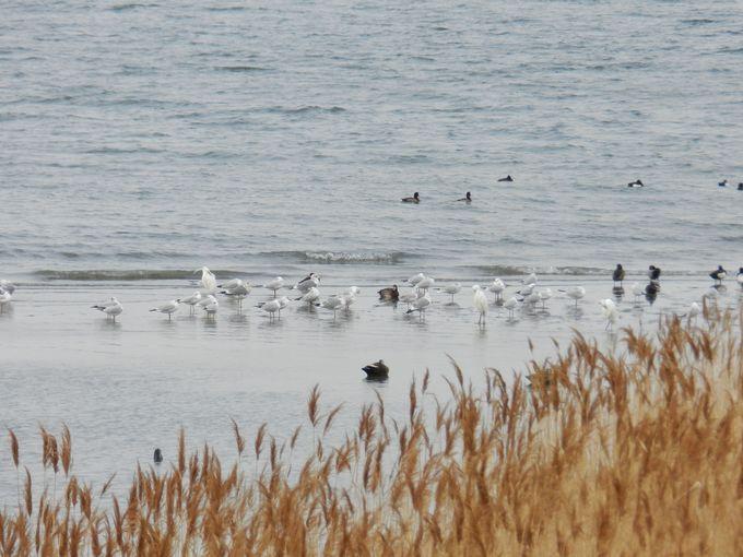 干潟に降り立つ水鳥たちをウォッチング