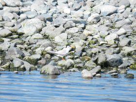 酒匂川の河口(小田原市)は水鳥の名所。思わぬ珍鳥の姿も!